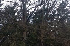 1. Ąžuolai auga Prienų rajono Jiezno seniūnijos Julijanavos kaimo miške. Iš augančio kairėje bus padarytas Baršėnų kryžius